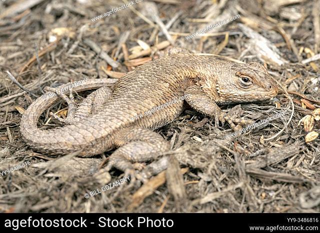Camouflaged Eastern Fence Lizard (Sceloporus undulatus) - North Carolina Arboretum, Asheville, North Carolina, USA