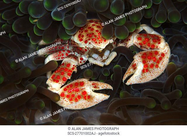 Crab in Anemone Neopetrolisthes maculata Mabul, Sipadan, Borneo, Malaysia, Indo-Pacific