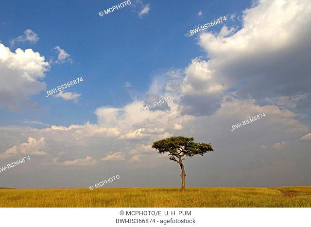 single tree in savanna and cloudy sky, Kenya, Masai Mara National Park