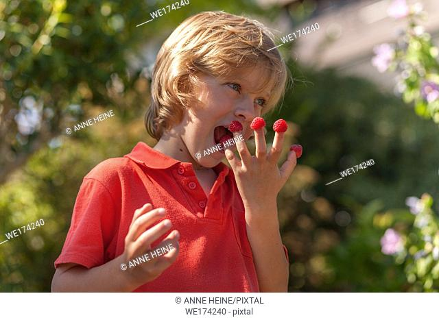 Child eating raspberries outdoors. Sauerland, Germany