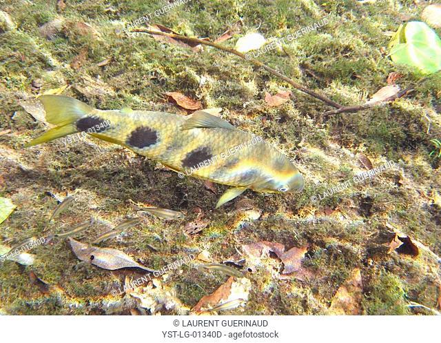 Fish, Piava, Leporinus elongatus, Bonito, Mato Grosso do Sul, Brazil