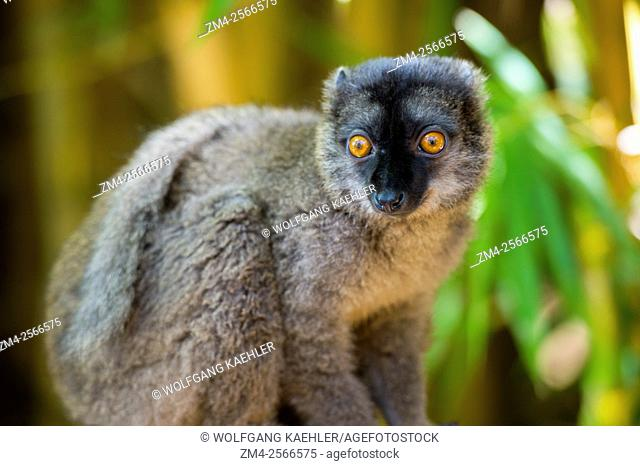 Common brown lemur (Eulemur fulvus) at Lemur Park near Antananarivo, Madagascar