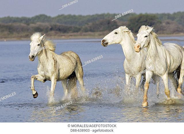 Camargue horses. Saintes Maries de la Mer. Bouches du Rhone. Camargue. France