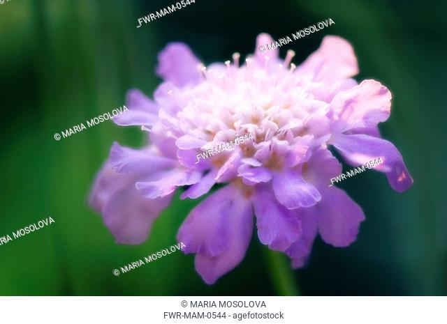 Scabiosa columbaria, Scabious