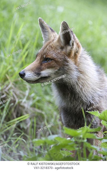 Portrait of a Red Fox / Rotfuchs ( Vulpes vulpes ), close-up, headshot, sitting in natural vegetation