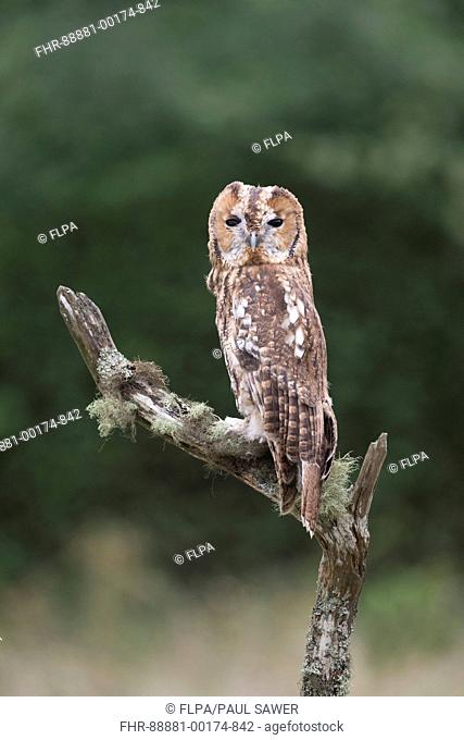 Tawny Owl (Strix aluco) adult, perched on mossy branch, adopting a raised and narrow posture to aid camouflage when frightened, Suffolk, England, September