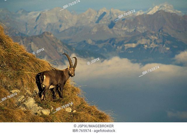 Alpine Ibex, Ibex, Steinbock (Capra ibex), male