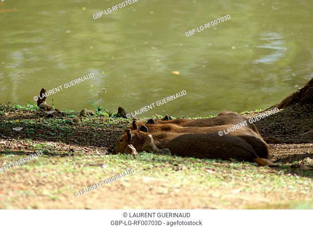 Animal, Capybara, Horto Florestal Park, São Paulo, Brazil