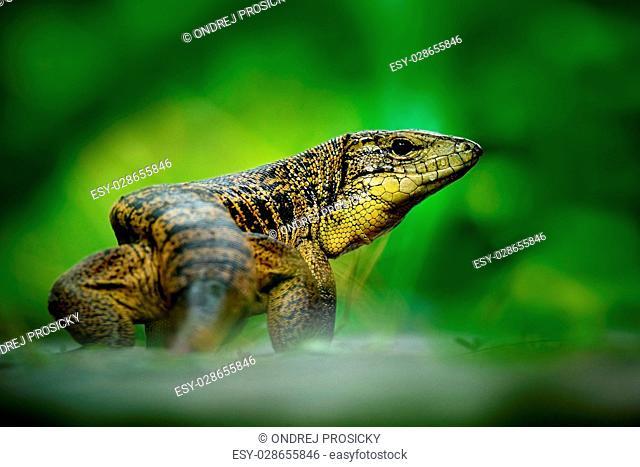 Gold tegu, Tupinambis teguixin, big reptile in the nature habitat