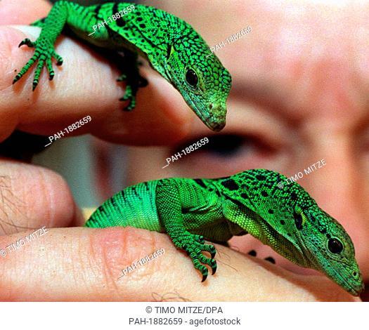 4-week-old emerald tree monitor lizards (Varanus prasinus) at the Aquazoo in Duesseldorf, Germany, on 19 November 1999.. | usage worldwide