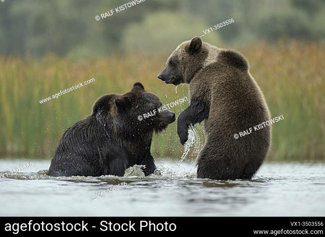 Eurasian Brown Bears / Europaeische Braunbaeren ( Ursus arctos ) fighting, struggling, playful fight between two adolescent in shallow water of a lake, Europe