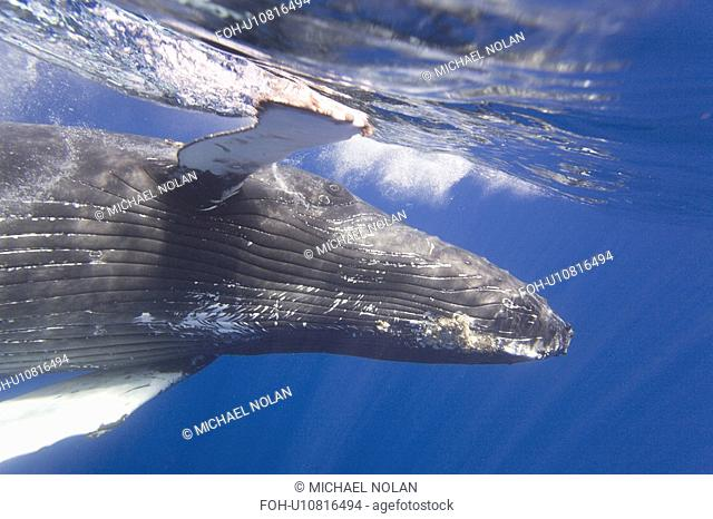 Curious sub-adult female humpback whale Megaptera novaeangliae interacting by rolling and approaching time and again in the AuAu Channel, Maui, Hawaii