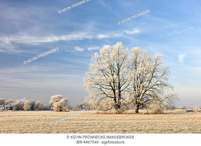 Trees with hoarfrost, Elbaue, Middle Elbe Biosphere Reserve, Saxony-Anhalt, Germany