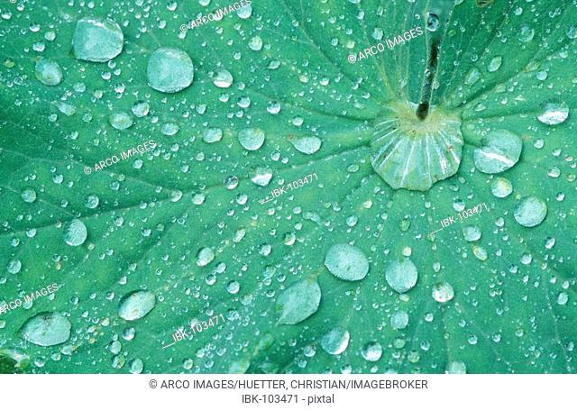 Lady's Mantle, leaf with raindrops (Alchemilla vulgaris)