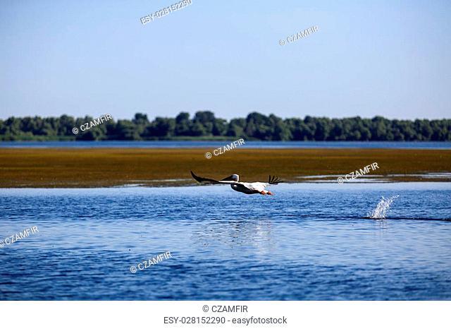 Pelecanus onocrotalus the natural environment, the Danube Delta Romania