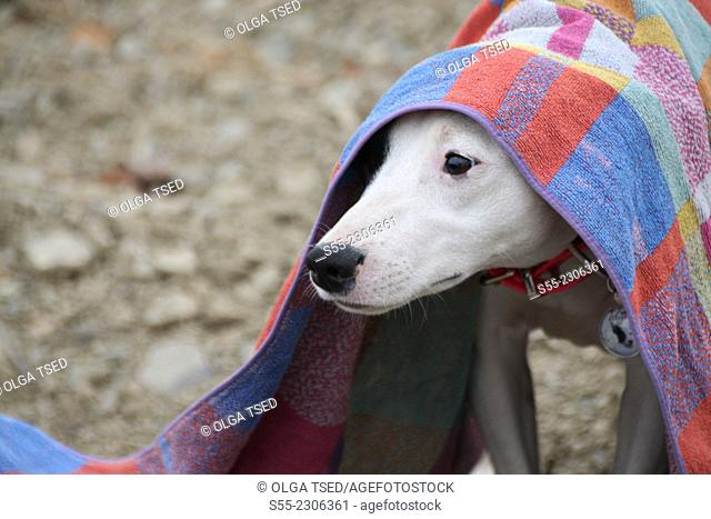 A White dog playing with a colorful towel, Poboleda, Priorat, Catalonia, Spain
