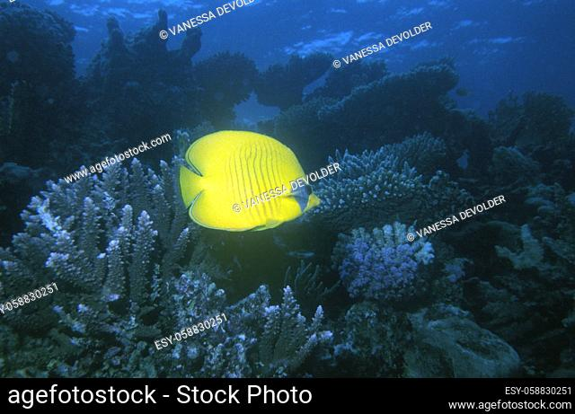 Yellow butterflyfish in a blue sea with coral. Location: Red Sea, Egypt