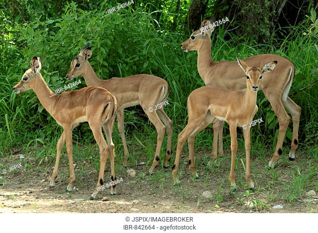 Impala (Aepyceros melampus), calves in a group, Kruger National Park, South Africa, Africa