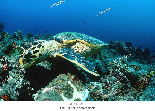 Hawksbill turtle Eretmochelys imbricata swimming underwater, Maldives