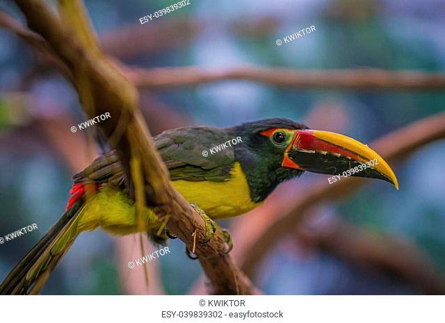 Green Aracari Bird - smallest member of the toucan family