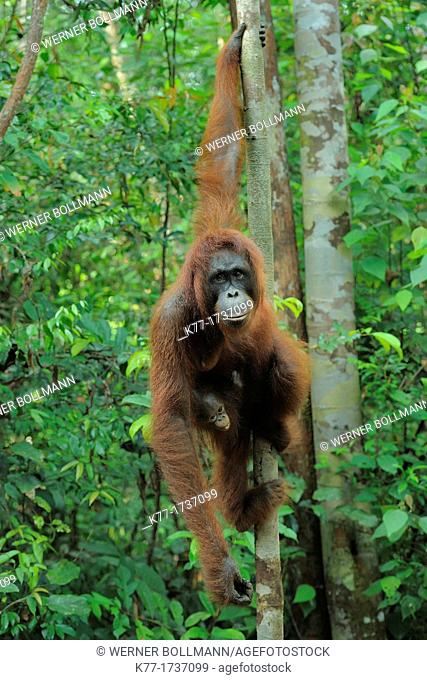 Orang Utan Pongo pygmaeus, mother and baby, Tanjung Puting National Park, Province Kalimantan, Borneo, Indonesia