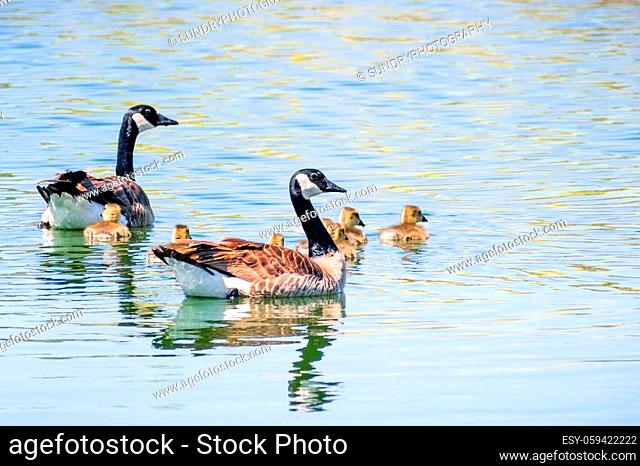 Canada Goose (Branta canadensis) family made out of parents and 7 goslings, swim on a lake on a sunny spring day, San Francisco bay area, California
