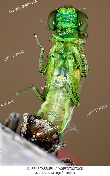 Imago. Dragonfly hatched after metamorphosis. Villena. Alicante. Valencia. Spain. Europe