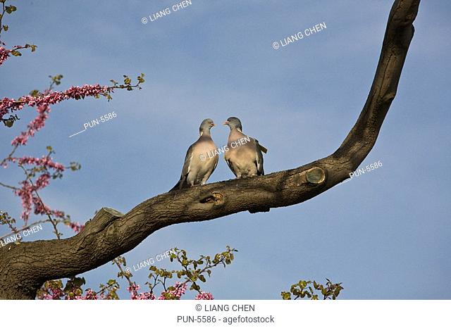 Two lovely pigeons resting on a branch in a park beside Louvre Museum in April