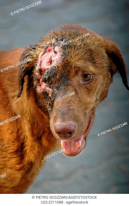 Mumbai, India: poor stray dog wandering around in a trafficked road after having had an accident