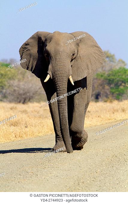 African Elephant (Loxodonta africana) in the gravel road, Kruger National Park, South Africa