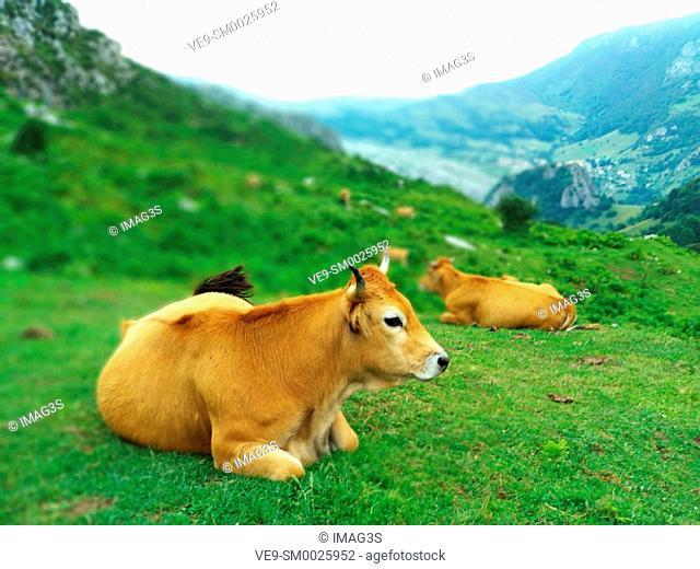 Cattle in PIcos de Europa National Park, La Terenosa, Sotres, Cabrales municipality, Asturias, Spain