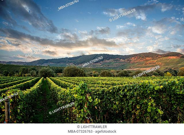 Vineyards at the Moselle in front of evening sky