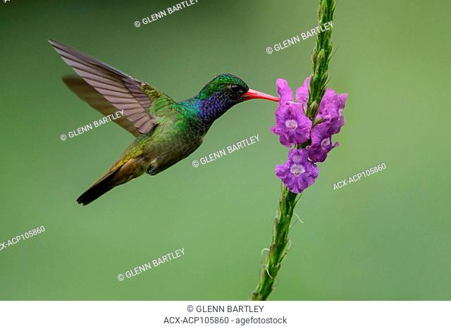 Blue-throated Sapphire (Hylocharis eliciae) flying and feeding at a flower in Costa Rica