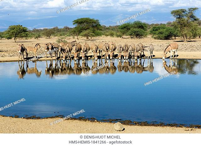 Kenya, lake Magadi, Masai donkeys at a waterpoint