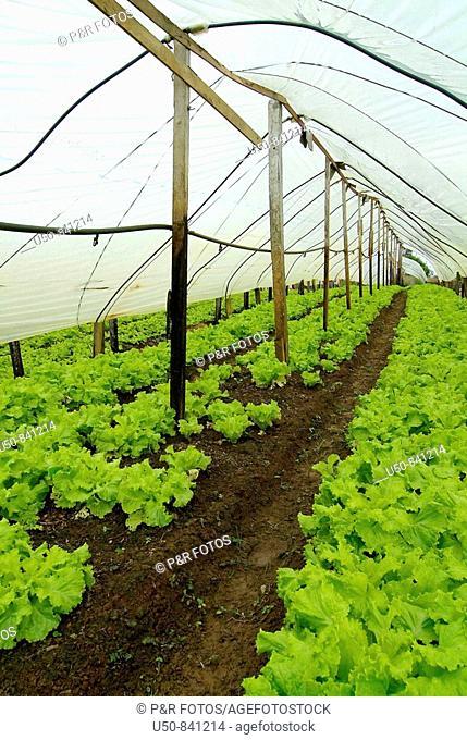 Lettuce growing under plastic house, Brazilian Amazon, Rio Branco, Acre, Brazil