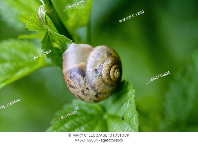 Copse Snail, Arianta arbustorum, a small chestnut colored snail with variable markings found in woodlands