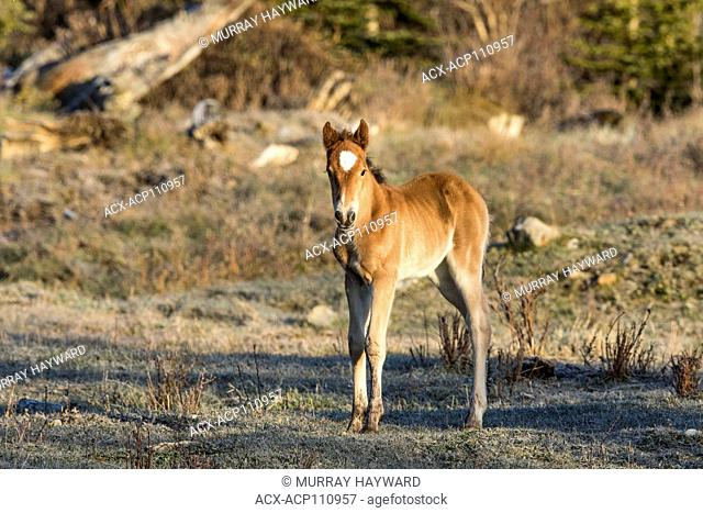 Wild Horse Colt- Feral (Equus caballus) Beautiful, new colt, feeling frisky, in the Alberta Foothills, its natural habitat