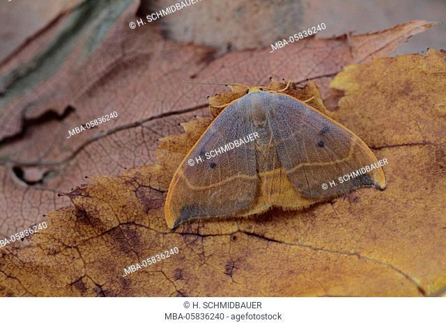 Oaken sickle spinner, camouflage, Drepana binaria