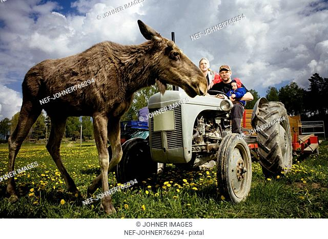 An elk in front of a family on a tractor, Sweden
