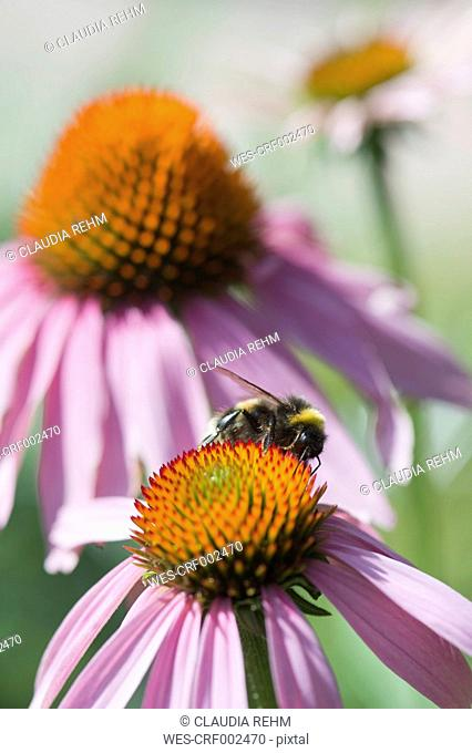 Germany, Bavaria, View of coneflower, close up
