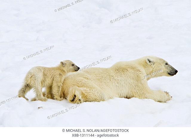 Mother polar bear Ursus maritimus with COY cub-of-year in Holmabukta on the northwest coast of Spitsbergen in the Svalbard Archipelago