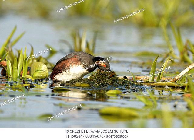 Black-necked Grebe (Podiceps nigricollis nigricollis) adult, breeding plumage, moving nesting material to cover eggs in nest, Danube Delta, Tulcea, Romania, May