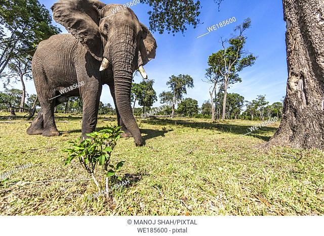 African Elephant picking up fallen tree fruits with trunk. Masai Mara National Reserve, Kenya