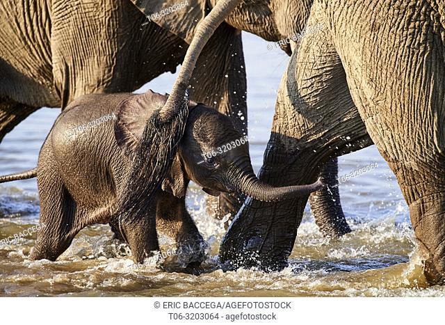 African elephant, tiny calf crossing Luangwa river protected by herd, (Loxodonta africana), South Luangwa National Park, Zambia