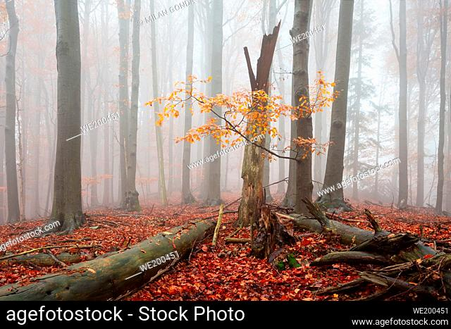 Autumnal beech forest in Mala Fatra national park on a foggy day, Slovakia