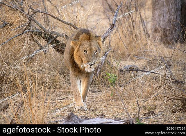 Lion male, Panthera Leo, Kruger National Park, South Africa