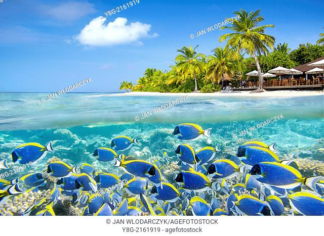 Half underwater view with school of fishes, Maldives, Ari Atol, Indian Ocean