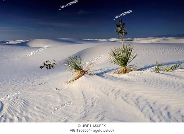 Yucca palmtree at the white dunes of the White Sands National Monument - White Sands National Monument, New Mexico, UNITED STATES, 30/12/1899