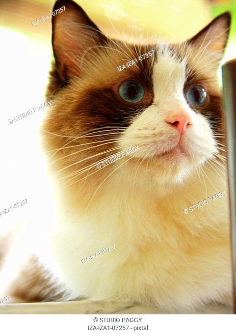 Close-up of a cat Ragdoll