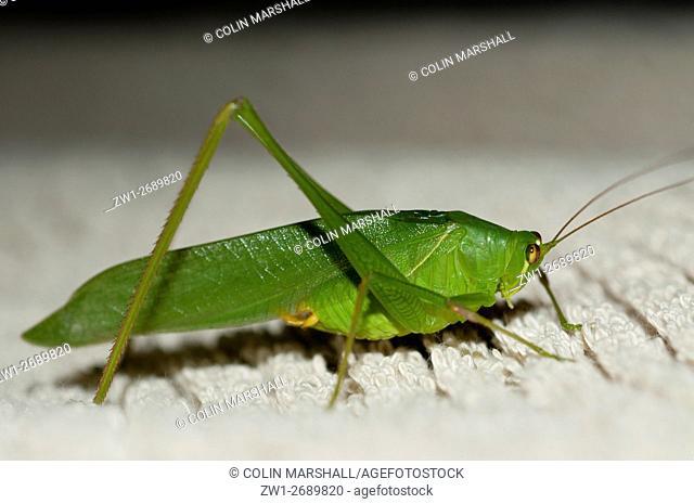 Katydid (aka Bush Cricket) (Orthoptera order, Tettigoniidae family), Klungkung, Bali, Indonesia